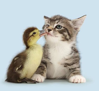 House Pet Photograph - Duck Tweaking The Lip Of Tabby Kitten by Mark Taylor