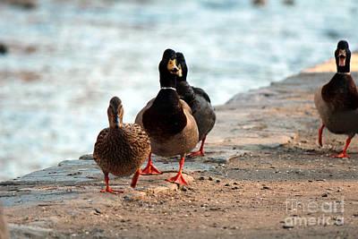 Duck Walk Art Print by David Jackson