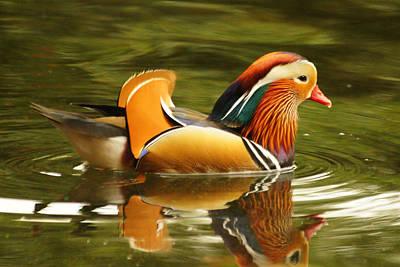 Photograph - Duck Wild - Mandarin by DerekTXFactor Creative