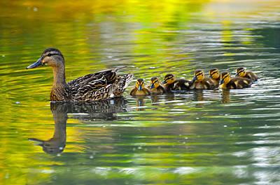Duck With Ducklings Original
