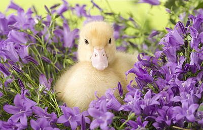 Photograph - Duckling In Flowers by Jean-Michel Labat