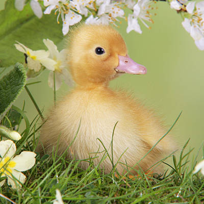 Photograph - Duckling In Spring by John Daniels