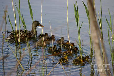 Ducklings And Mom Art Print by Tannis  Baldwin