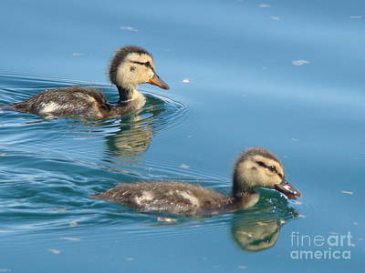 Baby Mallards Photograph - Ducklings by Beverly Guilliams