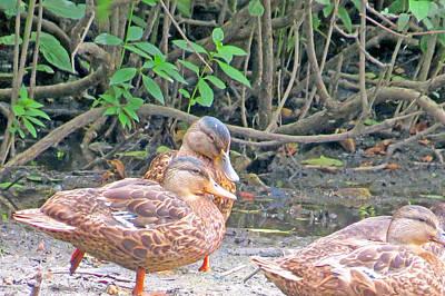 Ducklings Emancipated Original by Kathy Johnson