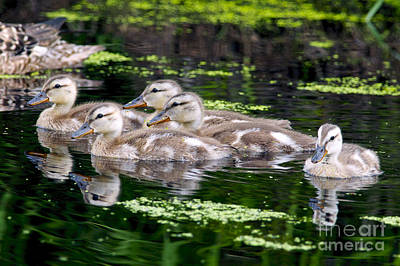 Baby Mallards Photograph - Ducklings Five by Sharon Talson
