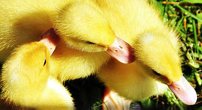 Photograph - Ducklings by Joanne Brown