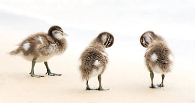 Birds Rights Managed Images - Ducklings Royalty-Free Image by Tim Hester