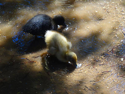 Photograph - Ducklings Two by Jacqueline  DiAnne Wasson