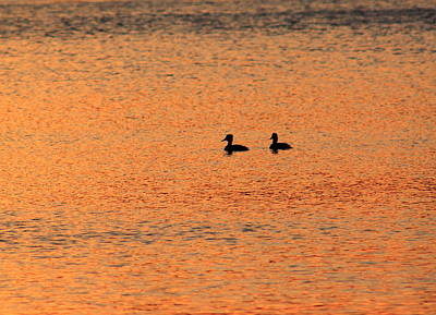 Photograph - Ducks And Sunset Reflection by John Burk