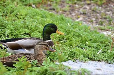 Photograph - Ducks by Brenda Stone