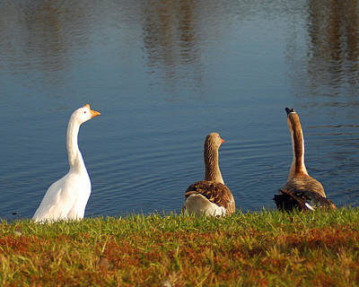 Photograph - Geese By The Water by Diane Bell