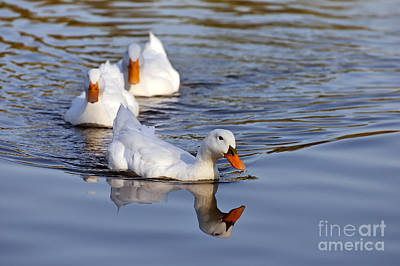 Swim Photograph - Ducks by George Atsametakis