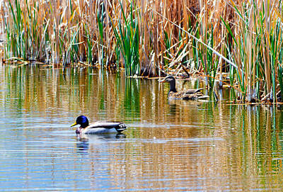 Photograph - Ducks In A Marsh by Brent Dolliver