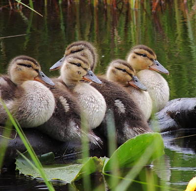 Ducks In A Row Art Print