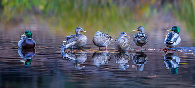 Duck Wall Art - Photograph - Ducks In A Row by Larry Marshall