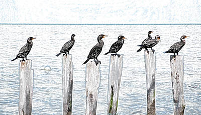 Digital Art - Ducks In A Row On Pier Pylons Cozumel Mexico Colored Pencil Digital Art by Shawn O'Brien