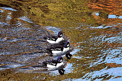 Photograph - Ducks In A Row by Peggy Collins