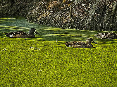 Photograph - Ducks In Duck Weed by Bill Barber