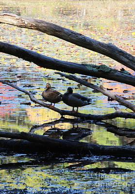 Ducks In Fall Colors II Art Print by Cheryl Aguiar