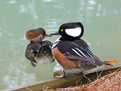 Photograph - Ducks In Love by Jean Wright