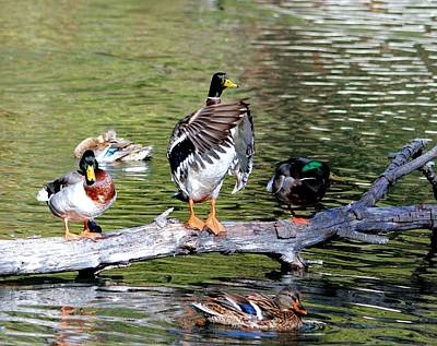 Photograph - Ducks On A Log by Judith Szantyr