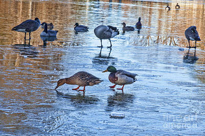 Photograph - Ducks On Ice by Diane Macdonald