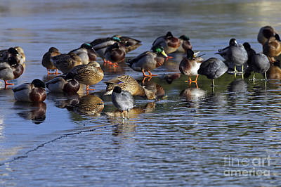 Photograph - Ducks On Ice by Sharon Talson