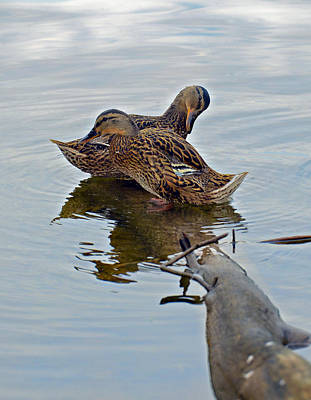 Photograph - Ducks On  Log by Susan Leggett