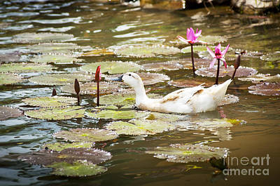Lilies Royalty-Free and Rights-Managed Images - Ducks on Pond by Tim Hester