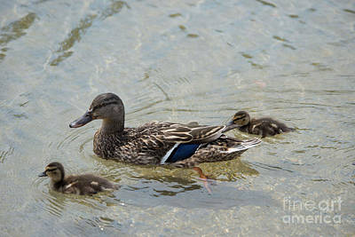 Lincoln Memorial Digital Art - Ducks On The Reflective Pool by Carol Ailles