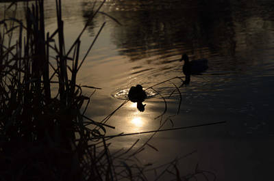 Samantha Morris Photograph - Ducks On The River At Dusk by Samantha Morris