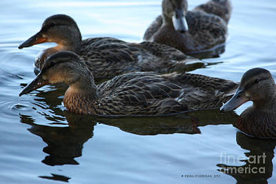 Photograph - Ducks Reflecting by Derek O'Gorman