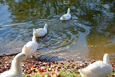 Photograph - Ducks Swimming by Carole Hinding