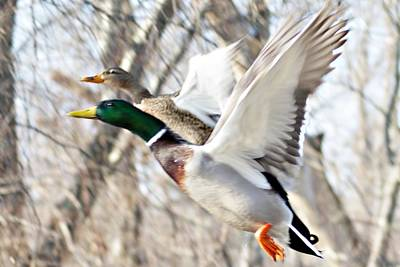 Photograph - Ducks Take Off I by Joe Faherty