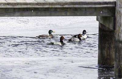 Ducks Under The Dock  Art Print