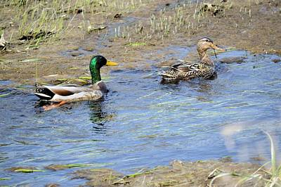Photograph - Ducks Unlimited by Bonfire Photography