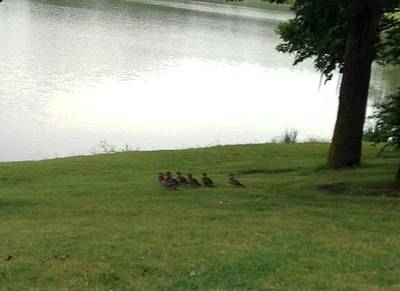 Clouds Rights Managed Images - Ducks Walking Away Royalty-Free Image by Natalee Parochka