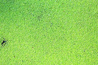 Aquatic Plant Photograph - Duckweed by Wladimir Bulgar