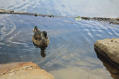 Photograph - Ducky Three by Barbara Dean