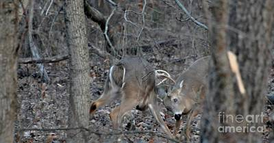 Photograph - Dueling Bucks by Maureen Cavanaugh Berry
