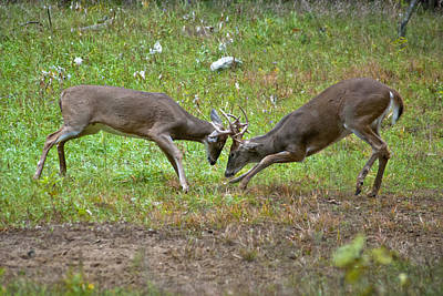 David Bowie Royalty Free Images - Dueling Bucks Two Royalty-Free Image by Michael Peychich
