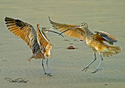 Long-billed Curlew Photograph - Dueling Curlews by David Salter