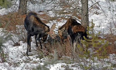 Photograph - 811p Dueling Moose by NightVisions
