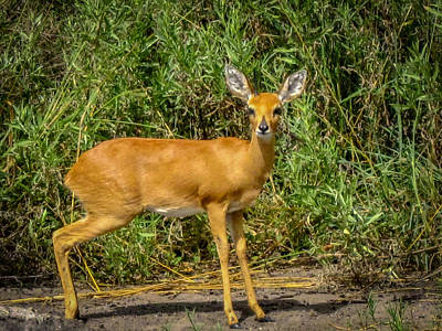 Photograph - Duiker by Gregory Daley  PPSA