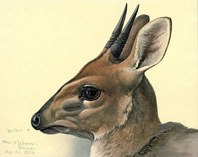 Sub Painting - Duiker by Dreyer Wildlife Print Collections