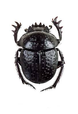 Cut Out Photograph - Dung Beetle by F. Martinez Clavel