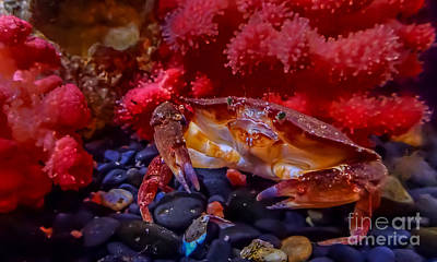 Photograph - Dungeness Crab by Em Witherspoon