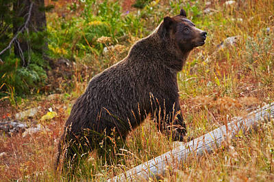 Photograph - Dunraven Grizzly by Mark Kiver