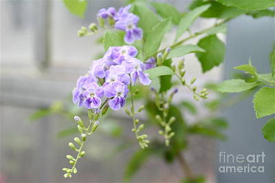 Art Print featuring the photograph Duranta by Rosemary Aubut